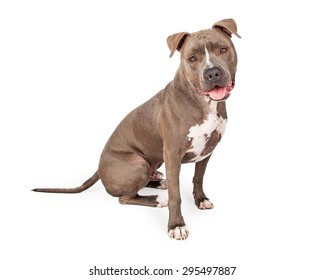 A very attentive Staffordshire Bull Terrier Dog sitting at an angle looking into the camera.