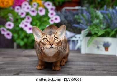Very beautiful Abyssinian cat, kitten on the background of the flower balcony