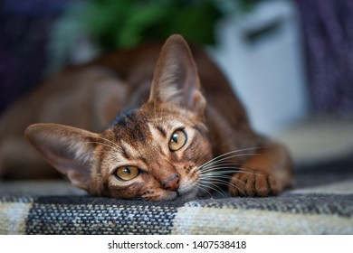 Very beautiful Abyssinian cat, kitten on the background of a lavender field, closeup portrait