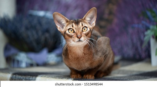 Very beautiful Abyssinian cat, kitten on the background of a lavender field, looking at the camera