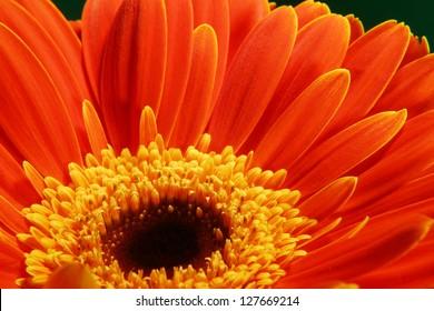 very beautiful bright orange flower in macro