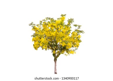 Very beautiful Golden shower tree (Cassia fistula), tropical tree in the northeast of Thailand isolated on white background.Yellow flowers.