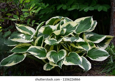 "Very beautiful hosta ""Minuteman"" with green and white leaves in the garden."