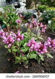very beautiful low-growing Prunella or brunello shrub with blooming pink flowers on the background of a stony flower bed with coniferous plants in the garden. Flower Wallpaper