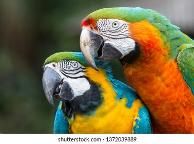 Very beautiful Macaw parrot pair with large beaks