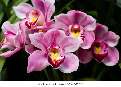 The very beautiful petals and color of big CYMBIDIUM orchid's flowers display in green,yellow,red,scarlet,white and purple.
