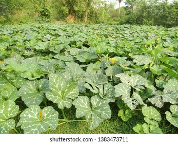 Very beautiful pumkin cultivation field,pumkin flowers and raw pumkin , day light captured image