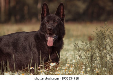 A very beautiful purebred black German dog stands in the middle of a chamomile field