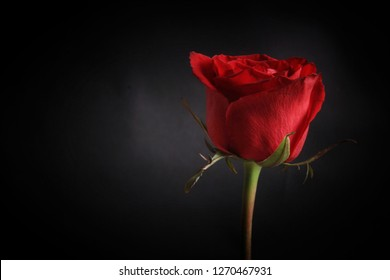 a very beautiful red rose
