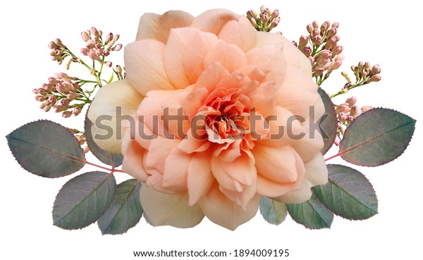 It is a very beautiful rose in nature.