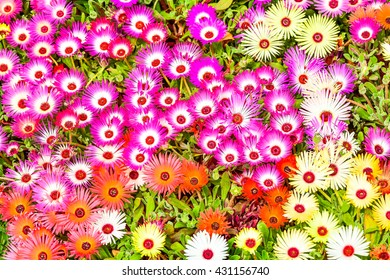 The very beautiful shocking color flower is called  Livingstone's daisy ,which has brightly color i.e. scarlet,red,orange,pink or cream. The beautiful flower background.