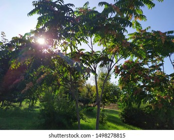 A very beautiful tree breed Chinese ash on a background of blue sky and white clouds. ( Ailanthus altissima swingle)