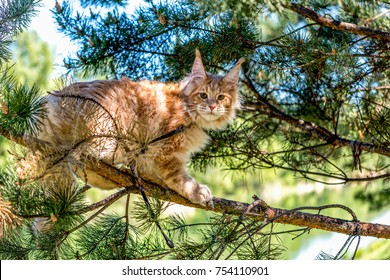 A very big American maine coon kitten with high ears sitting on a tree on a summer day in the woods.