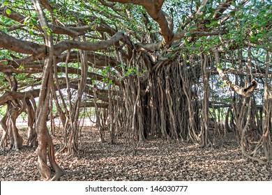 Very big banyan tree in the jungle