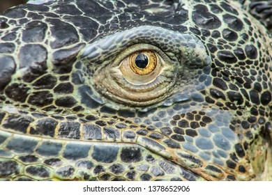 very big green reptile called iguana in the forest  with orange iris and black pupil. the skin is full of scales like a dragon and a dinosaur. the photo of the animal is well detailed and blurred