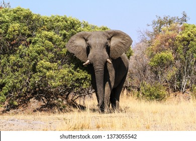 Very big and impressive african elephant bull approaching, spotted at Kruger National Park, South Africa