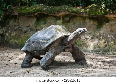 The very big turtle walking on the sand