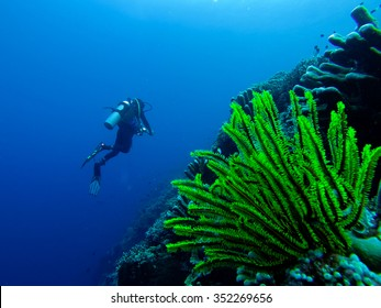 Very Bright green underwater Coral Plant in front of a diver in the blue ocean