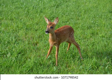 very close to a deer, looking like Bambi