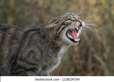 A very close up detailed portrait of a scottish wildcat snarling and showing its teeth facing right