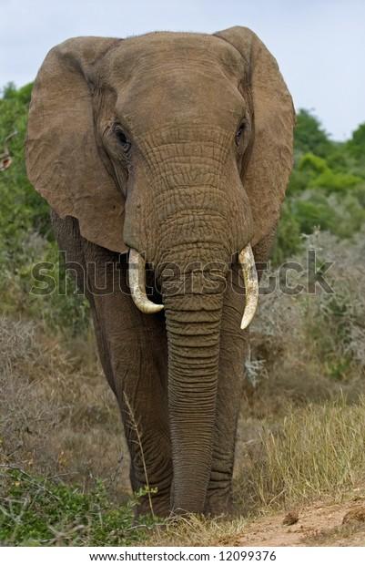 A very close Elephant Bull scares the photographer