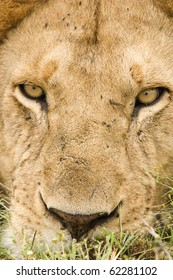 A very close up image of a male lion in Masai Mara