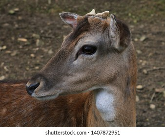 Very close image portrait of a fallow Deer scientific name Dama dama. The deer is in the shadow of the forest canopy. Alert. Its antlers are beginning to grow. This is a young buck.