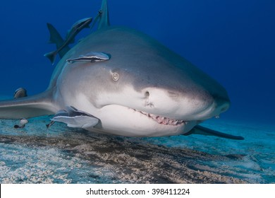 Very close lemon shark head shot with remoras in clear blue water. Showing sharp shark teeth.