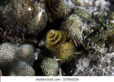 A very close up macro shot of christmas tree tube worms growing on a barrier coral reef in the Atlantic Ocean. Inside the John Pennekamp State Park in Key Largo, Florida