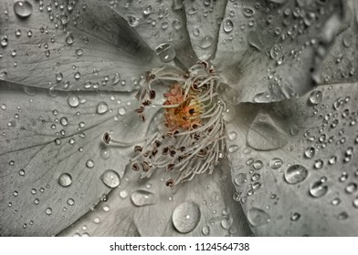 Very close Macro of the stamen on a white rose
