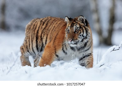 very close Siberian tiger in the snowy