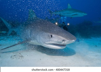 Very close tiger shark head shot in clear blue water.