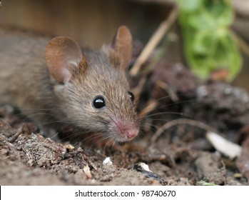 very close view of a garden mouse