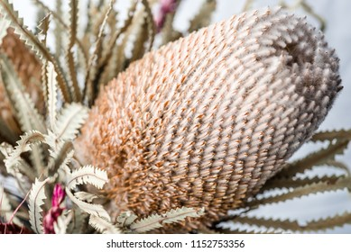 A very close view of the Woolly Orange Banksia flower