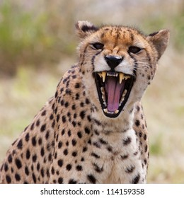 Very closeup of cheetah. Africa. Namibia. Cheetah head and teeth. Angry cheetah.