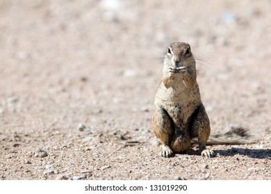 Very closeup of South African Ground Squirrel. Africa. Namibia.