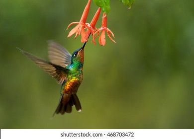 Very colorful agile hummingbird, Golden-bellied Starfrontlet, Coeligena bonapartei, female feeding on orange flowers against abstract green background. Chicaque Natural Park, Colombia.