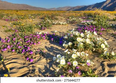Very colorful,  blooming Anza Borrego Desert in California.