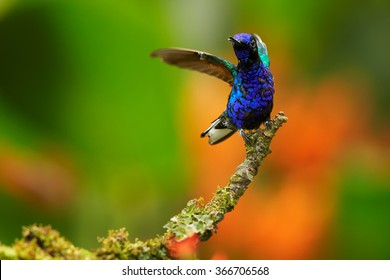 Very colorful glittering blue hummingbird Velvet-purple Coronet Boissonneaua jardini perched on mossy green twig with outstretched wings. Blurred bright orange flowers in background. Front view.