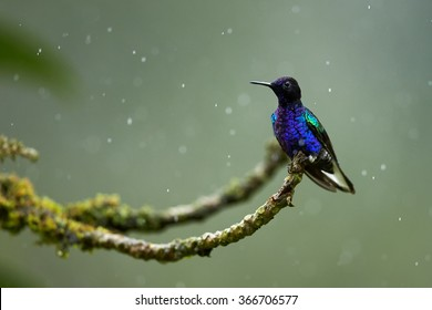 Very colorful glittering blue hummingbird Velvet-purple Coronet Boissonneaua jardini perched on mossy green twig in rain. Drops of water on its body, blurred green background. Raindrops.Side view.
