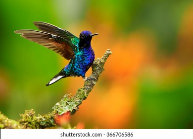 Very colorful glittering blue hummingbird Velvet-purple Coronet Boissonneaua jardini perched on mossy green twig with outstretched wings. Blurred bright orange flowers in background.Montezuma,Colombia