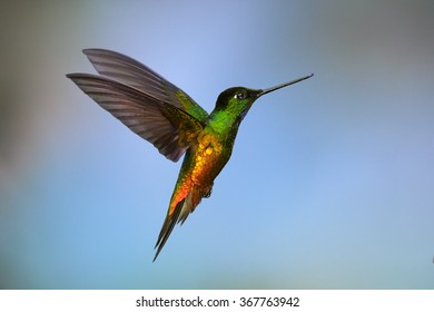 Very colorful hummingbird Golden-bellied Starfrontlet Coeligena bonapartei, hovering in flight. Bright golden and green plumage, outstretched wings, colorful blue background. Near endemic,Colombia.