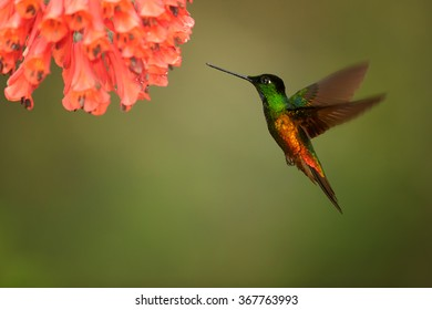 Very colorful hummingbird Golden-bellied Starfrontlet Coeligena bonapartei, hovering next to cluster of red flowers.Bright golden and green plumage, outstretched wings, abstract background. Colombia.