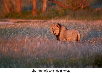 Very colorful photo of Panthera leo vernayi,  Kalahari lion, black mane lion in typical environment of Kalahari desert, a few seconds before sunset. Lion in red desert landscape. Kgalagadi , Botswana