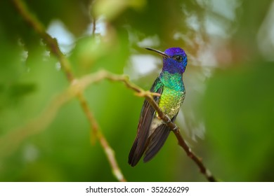 Very colorful shining green hummingbird Chrysuronia oenone  Golden-tailed Sapphire with violet head and golden breast, perched on diagonal twig. Blurred green tropical plants in background.