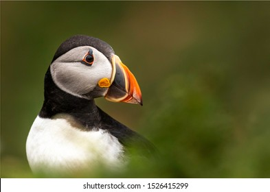 A very colourful cute little Atlantic Puffin bird with a large distinctive orange and black beak, amongst a green grassy foreground and background. Bird looking to the right with space for text.