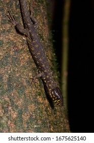 A very cool reptile, the Yellow Spotted Night Lizard comes out to forage at night in the jungle of Costa Rica.