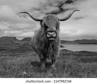 A very curious highland cow met in Scotland
