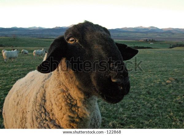 A Very Curious Scottish Sheep.