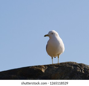 A very curious seagull